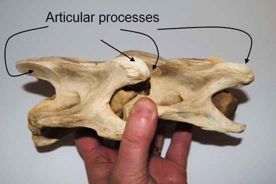 Ontwerp wervels paard_cervicaal_processus articularis