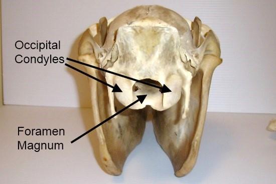 Cervicale wervelkolom paard_achterkant schedel
