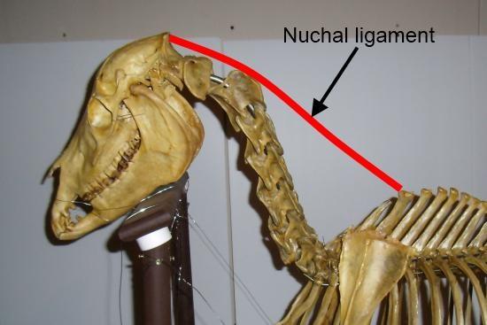 cervicale wervelkolom_cervicale wervels_ligamentum nuchae