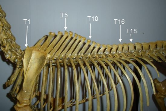 thoracale wervelkolom paard_borst wervels en ribben