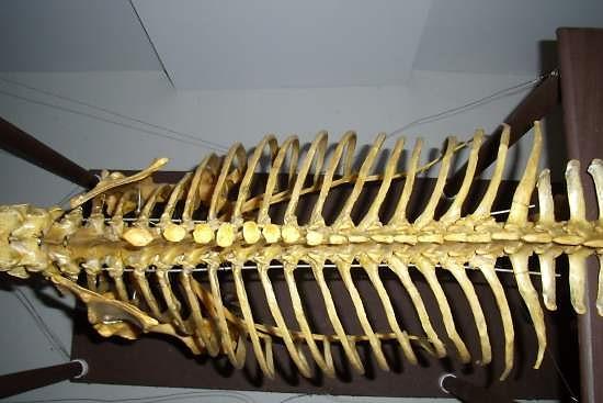 thoracale wervelkolom paard_borst wervels met ribben