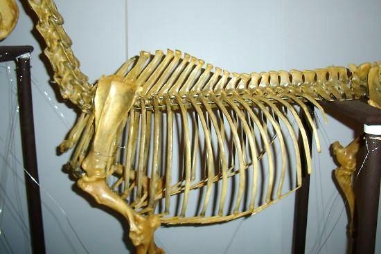 beweging thoracale wervelkolom paard_skelet paard