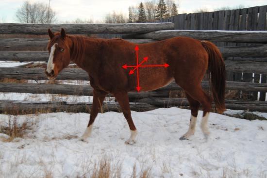Beweging ribbenkast paard