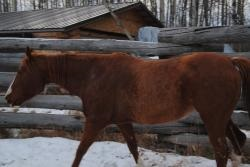 Beweging ribbenkast paard_extensie