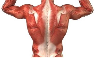 Spieren paard_aponeurose