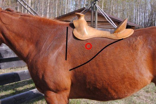 Latissimus dorsi paard_western zadel_front rigging dee