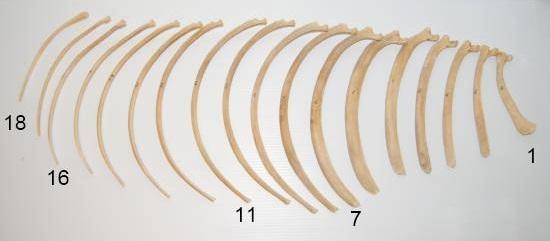 Ribbenkast paard_afzonderlijke ribben