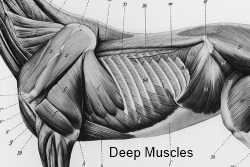 Ribbenkast paard_diepe spieren