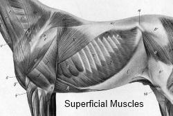Ribbenkast paard_oppervlakkige spieren