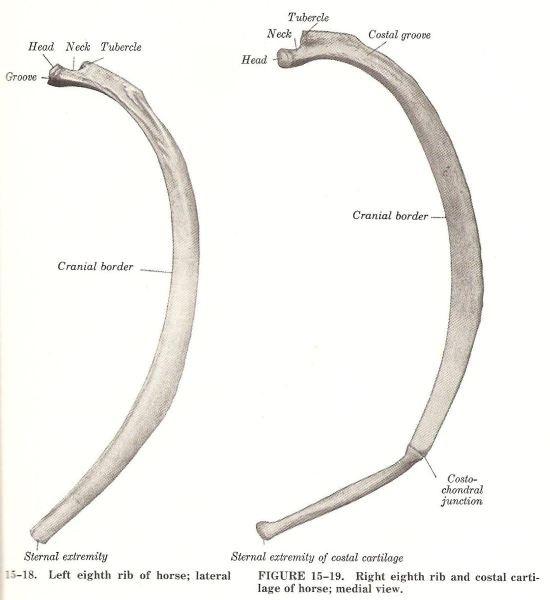 Ribbenkast paard_anatomie ribben