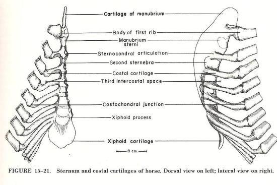 Ribbenkast paard_verbinding ribbenmet borstbeen