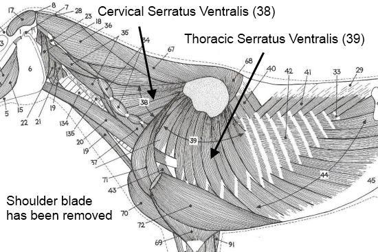 Serratus Ventralis paard_cervicaal en thoracaal