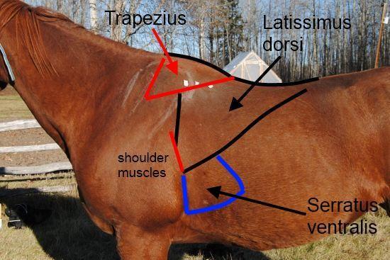Serratus Ventralis paard_op paard getekend