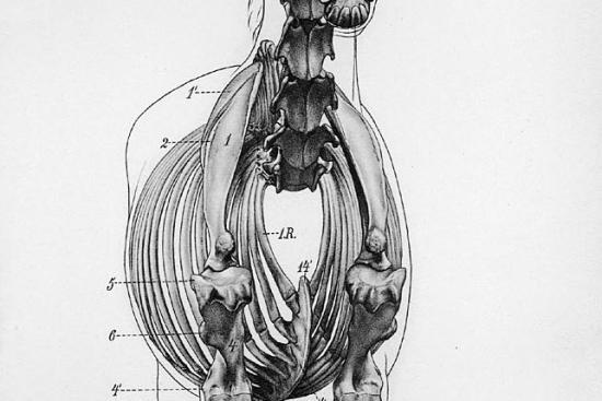 Serratus Ventralis paard_scapula