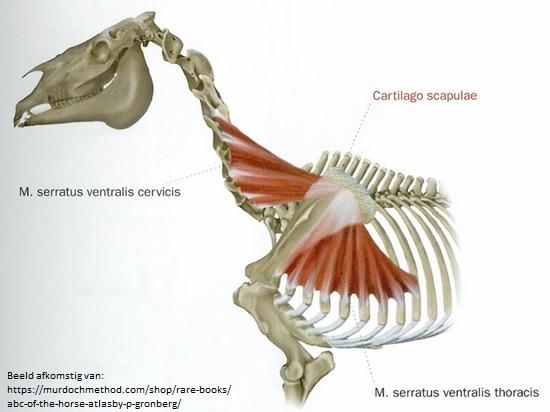 Serratus Ventralis paard_insertie scapula_facies serrata