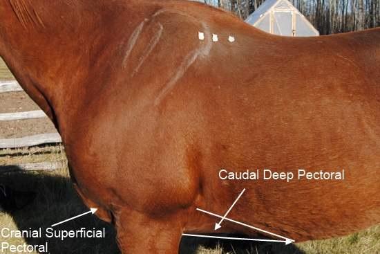 Borstspieren paard_pectoralis spieren