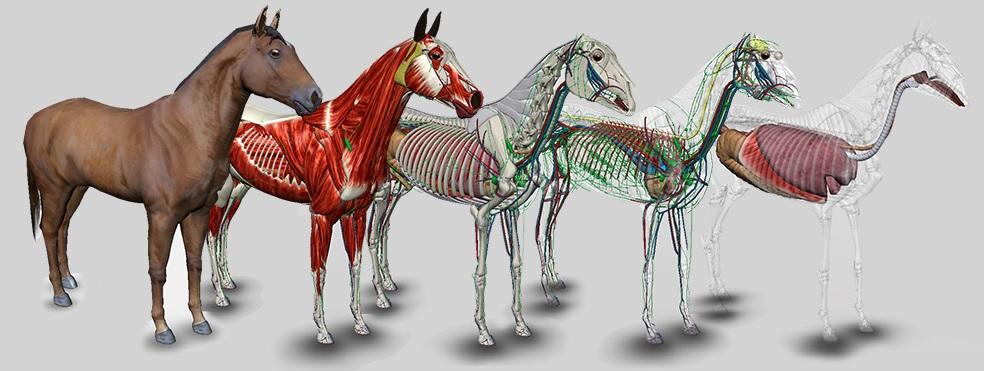 Fascia in het paard