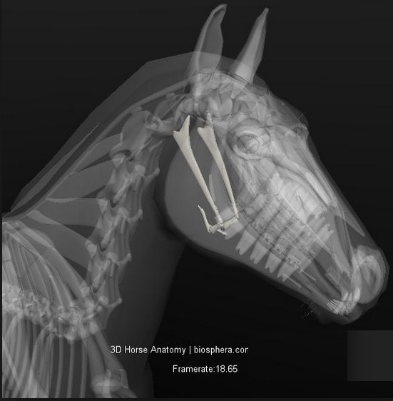 Os Hyoid_tongbeen paard