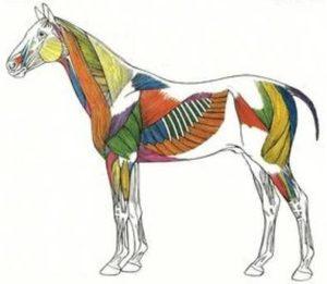 Anatomie paard