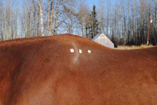 Beweging van het schouderblad paard_range of motion