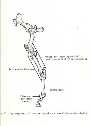 Achterbeen van het paard_sta apparaat