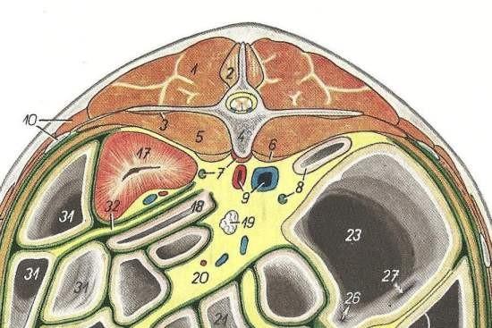 Longissimus Dorsi paard_tekening L2