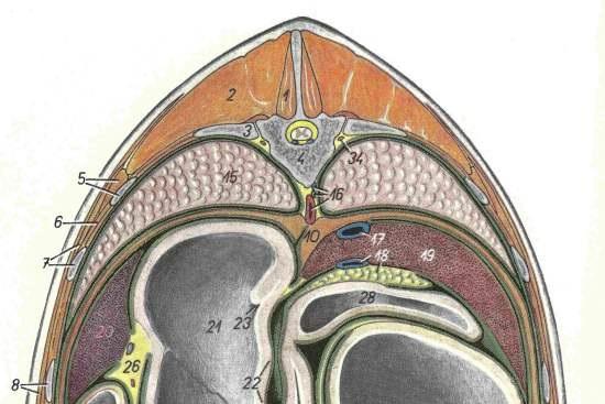 Longissimus Dorsi paard_tekening T14