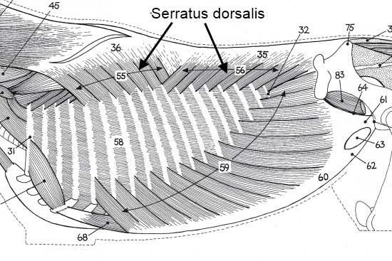 Rompspieren paard_serratus dorsalis