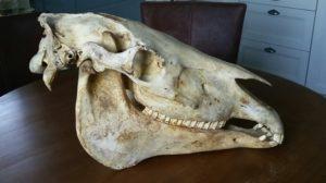 Presentaties anatomie paard