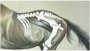 Psoas paard
