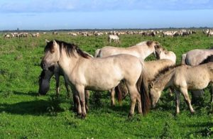 Hypermobiel paard_oerpaard