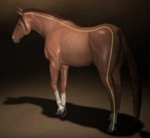 Blaasmeridiaan paard_verloop