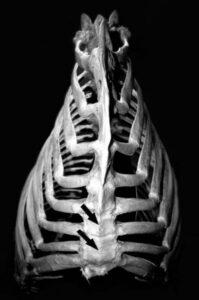 Natuurlijke scheefheid paard_borstbeen ribbenkast paard