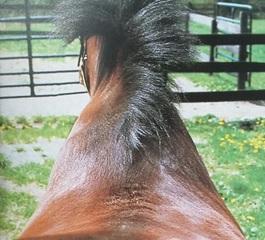 Natuurlijke scheefheid paard_asymmetrie in schouders