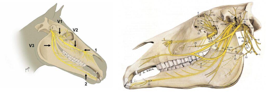Headshaking paard hoofdschudden_craniale zenuw V Trigeminus