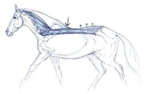 Paard rugpijn_paard gevoelige rug